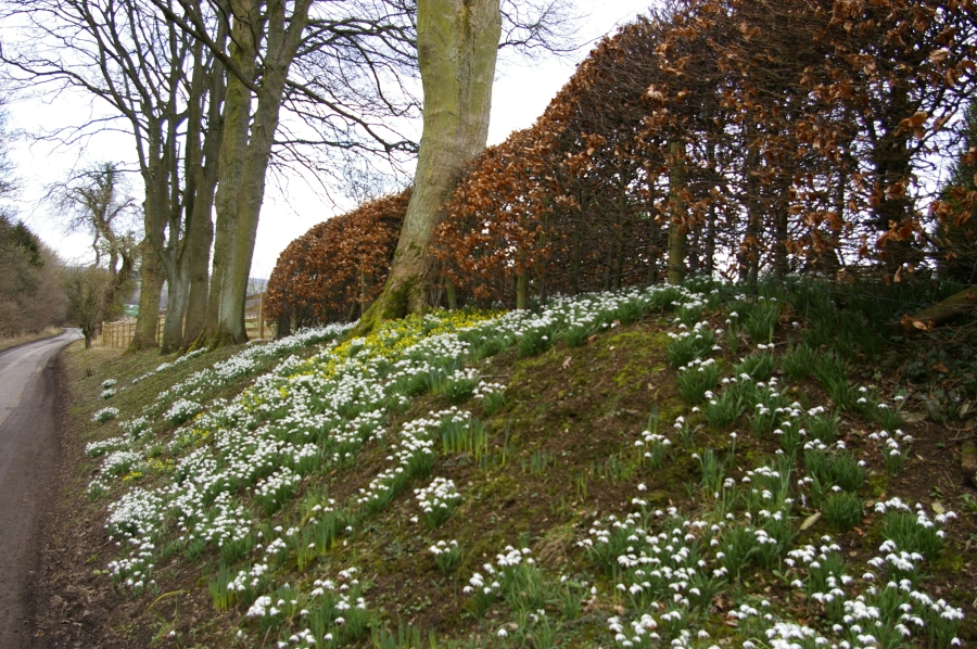 Snowdrops and Acconites